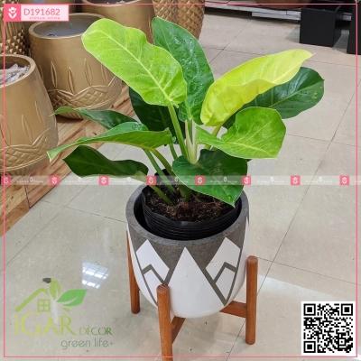 Chậu Xi Măng Fiber Họa Tiết Trồng Đế Vương Xanh - D191682 - xinhtuoi.online