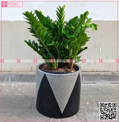 Chậu Kim Tiền - D75461 - xinhtuoi.online