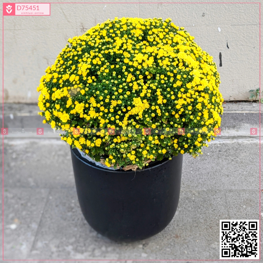 Cúc Mâm Xôi Phúc Lộc - D75451 - xinhtuoi.online